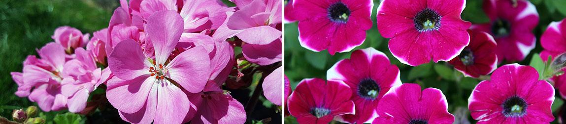 Geraniums and Petunias