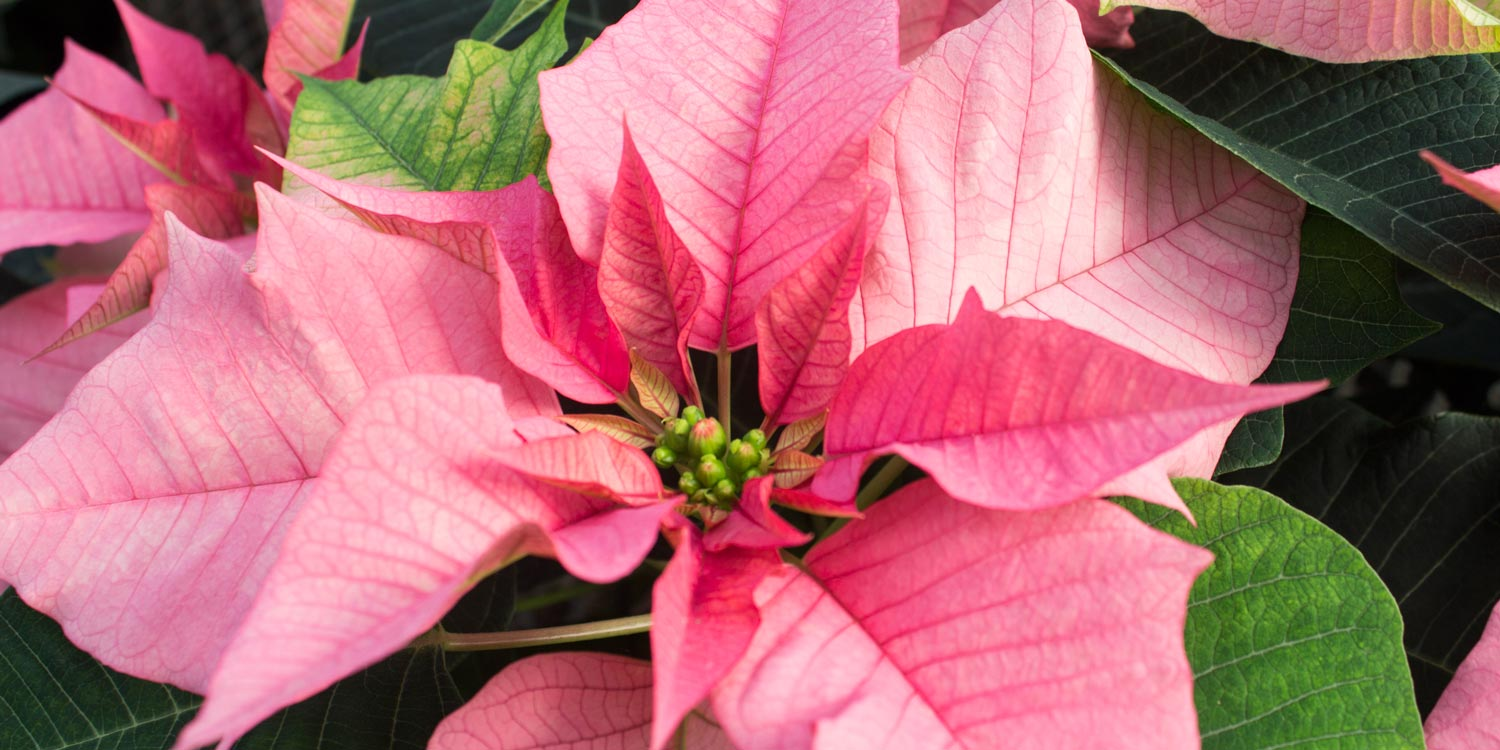 Poinsettia Sparkling Punch