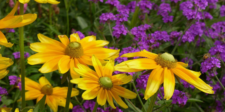 yellow prairie wildflowers