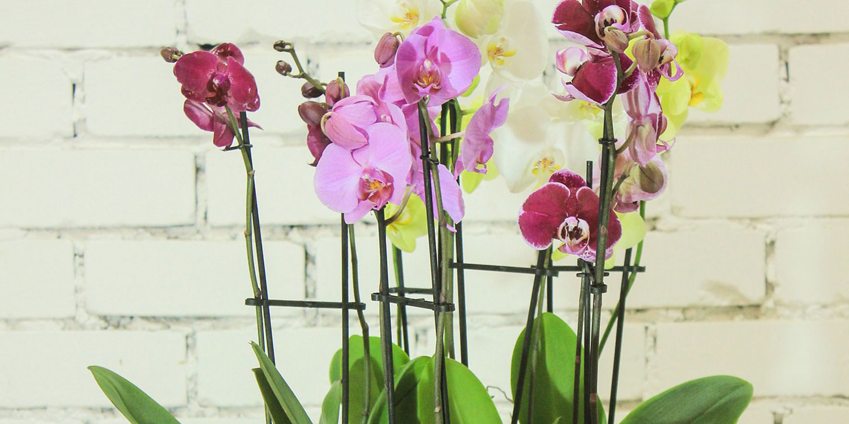 multi-colored moth orchids