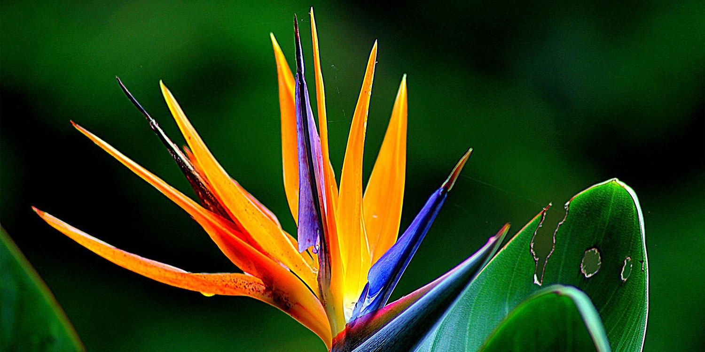 exotic flowers bird of paradise