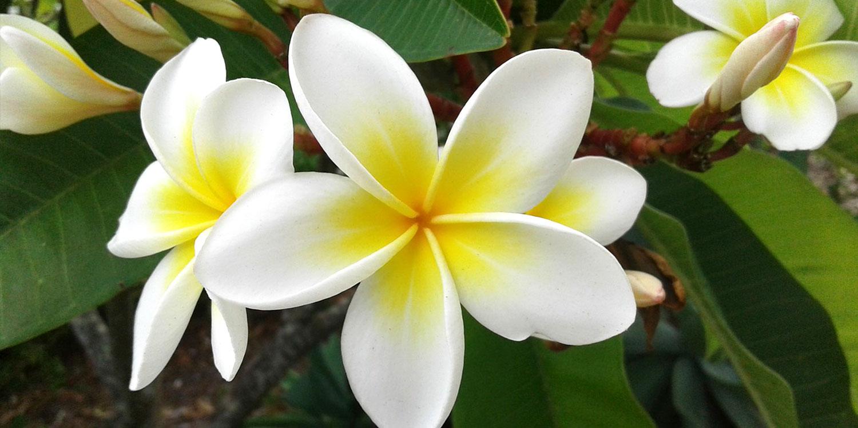 exotic flowers frangipani hawaii