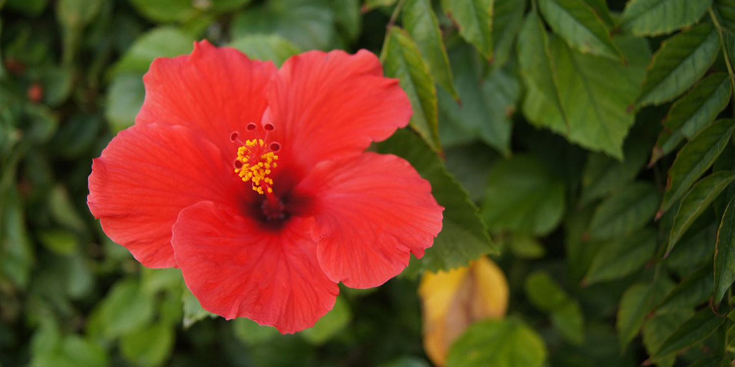 exotic flowers chinese hibiscus red