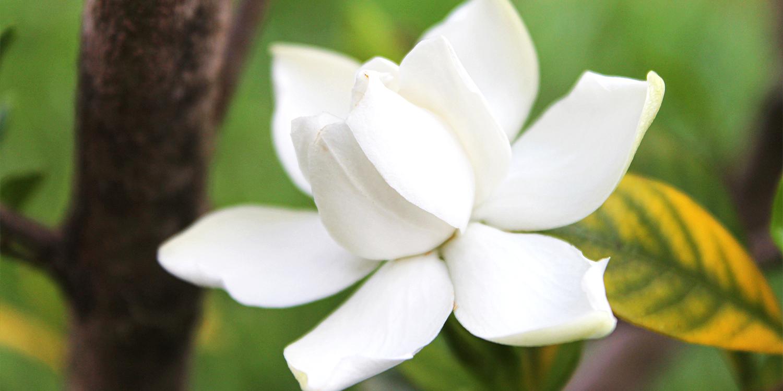 fragrant plants gardenia jasminoides