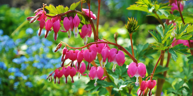 bleeding hearts shade gardening