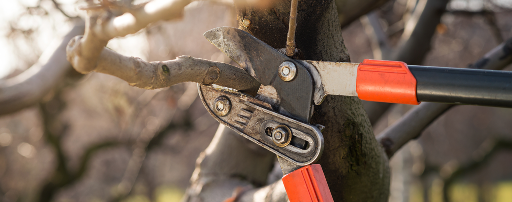 A-complete-guide-to-pruning-in-soflo-fruit