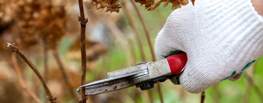 A-complete-guide-to-pruning-in-soflo- hydrangeas