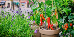 how-to-grow-your-own-food-with-container-vegetable-gardening-pepper-Header
