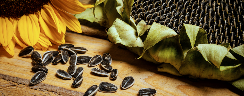 sunflowers-how-to-grow-them-in-fort-lauderdale-still-life-with-seeds