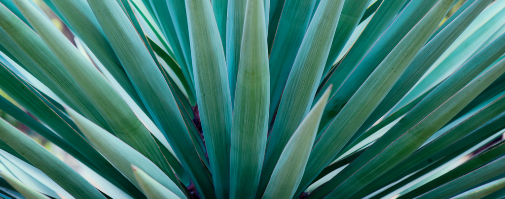 the-best-plants-for-direct-sunlight-agave-plant-turquoise