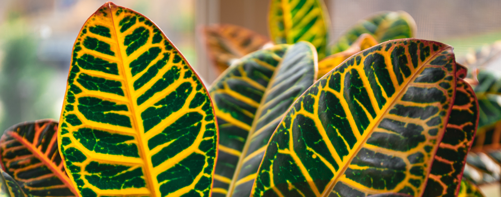the-best-plants-for-direct-sunlight-croton-plant-indoors