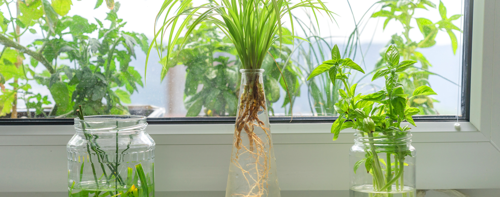 water-plants-everything-you-need-to-know-basil-window