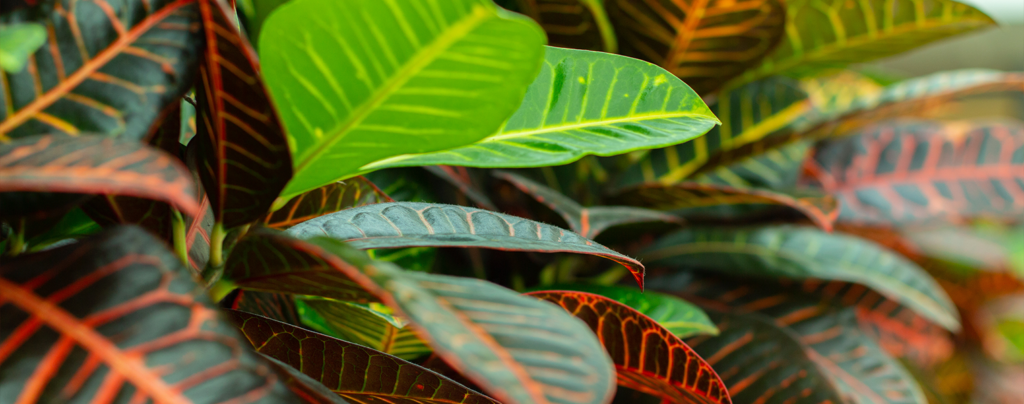 10-big-bold-plants-for-indoors-and-out-croton-plant