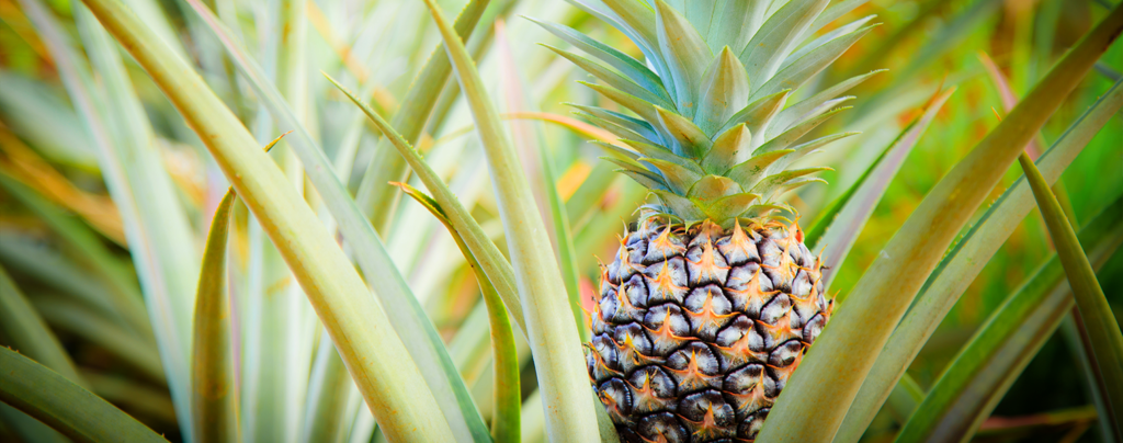 10-big-bold-plants-for-indoors-and-out-pineapple-plant