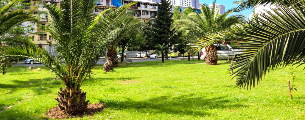 palm-tree-planting-and-care-dwarf-palm-tree
