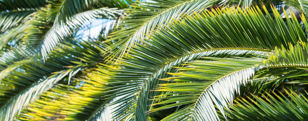 palm-tree-planting-and-care-macro-leaves