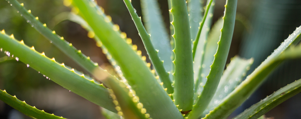 the-9-best-succulents-for-your-collection-aloe-vera