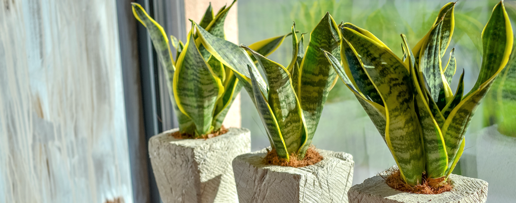 the-9-best-succulents-for-your-collection-three-snake-plants