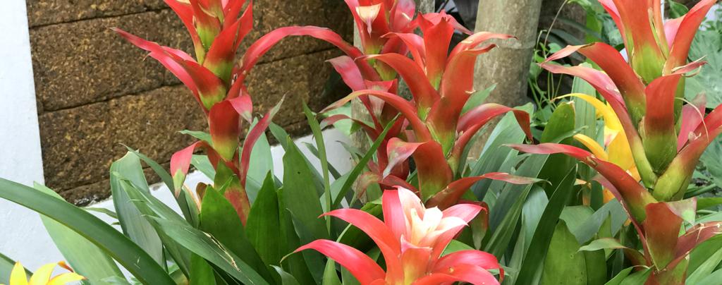 adding-bromeliads-to-landscape-backyard-bromeliads-up-close