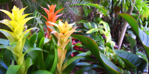adding-bromeliads-to-landscape-bromeliads-in-tropical-garden