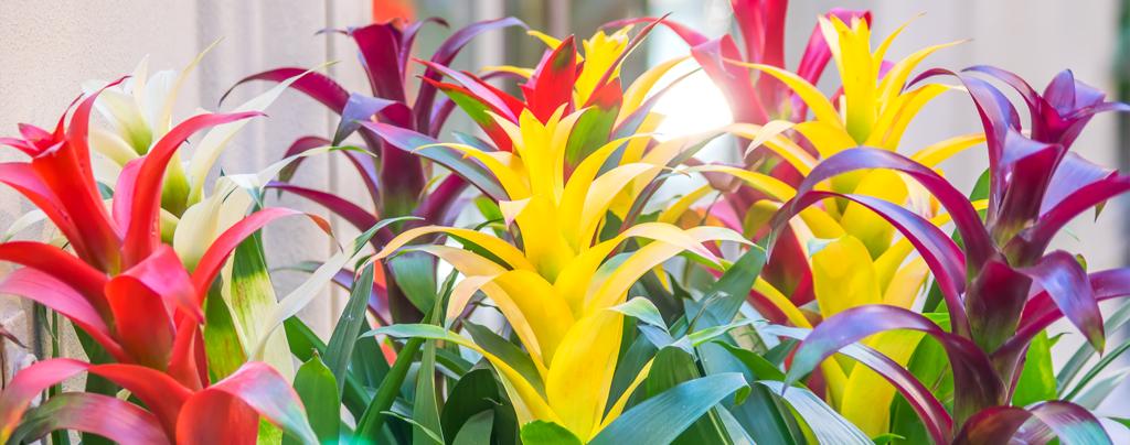 adding-bromeliads-to-landscape-colorful-bright-bromeliads
