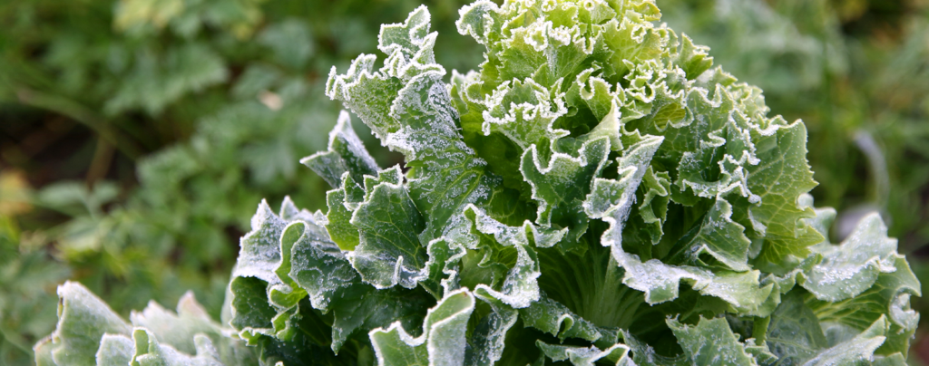 sheltering-tender-plants-from-frost-lettuce-with-frost