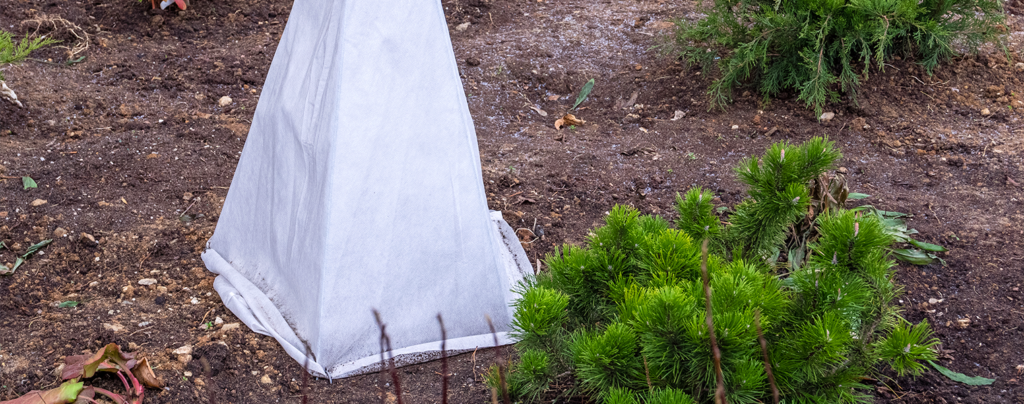 sheltering-tender-plants-from-frost-small-tree-with-protective-blanket