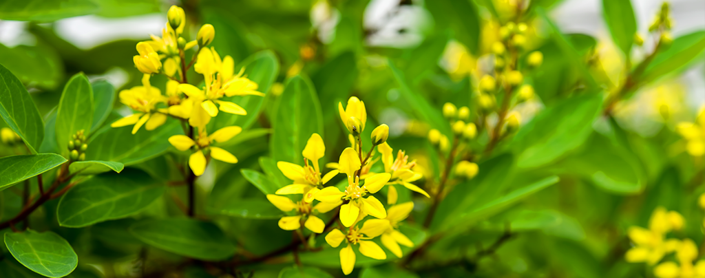 flowering-tropical-shrubs-thryallis