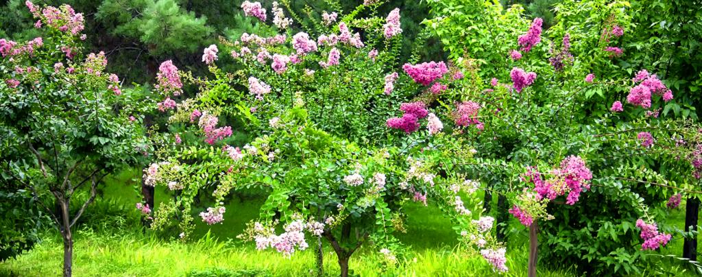 living-color-crape-myrtle-trees