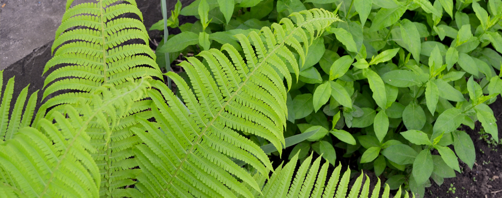 living-color-ground-cover-plants-sword-fern