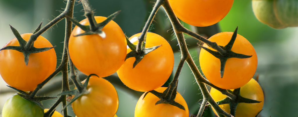 living-color-late-summer-containers-yellow-cherry-tomatoes