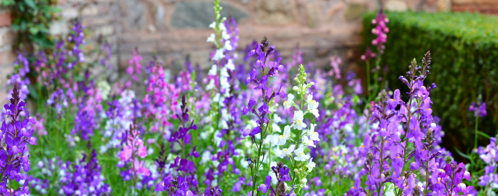 living-color-low-maintenance-summer-plants-Angelonia