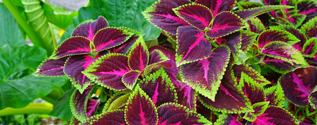 living-color-low-maintenance-summer-plants-Coleus