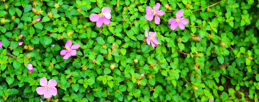 living-color-low-maintenance-summer-plants-Spanish Shawl