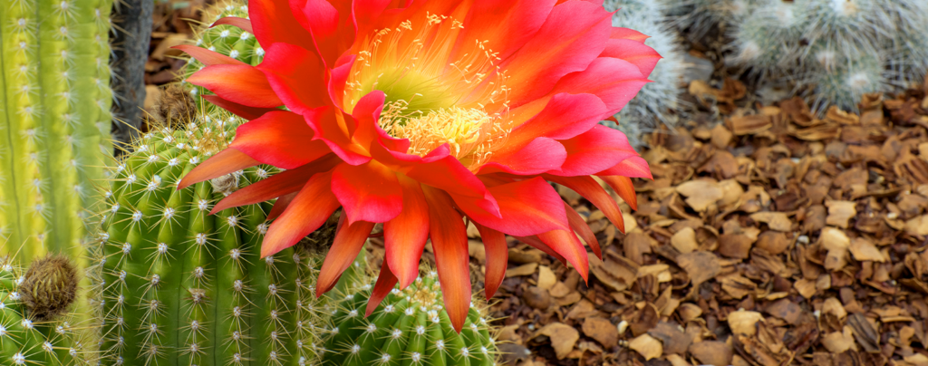 living-color-colorful-cacti-red-torch-cactus