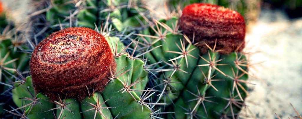 living-color-colorful-cacti-turks-cap