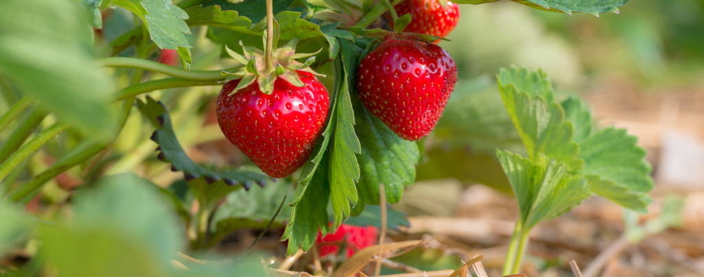 living-color-favorite-cool-season-fruits-veggies-strawberry-plant