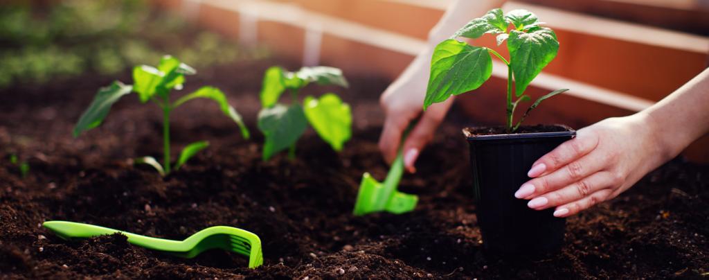 living-color-vegetable-planting-calendar transplanting-veggies