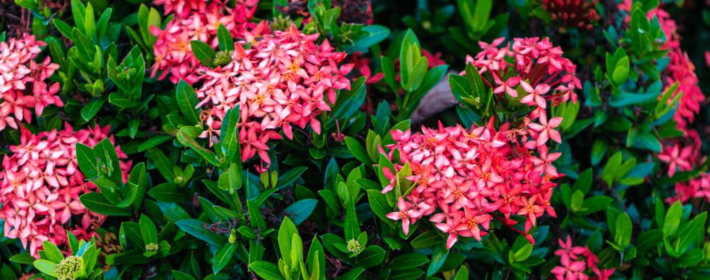 living-color-best-perennials-dense-pink-ixora