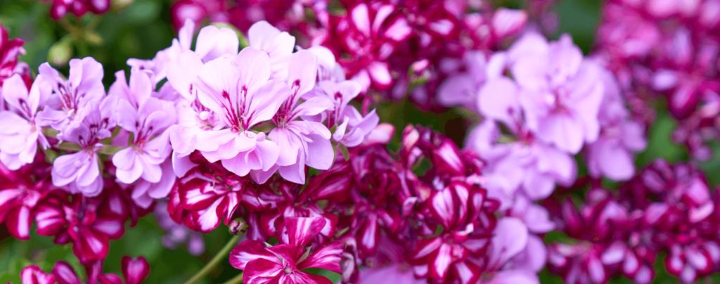 living-color-cool-season-annuals-florida-geraniums