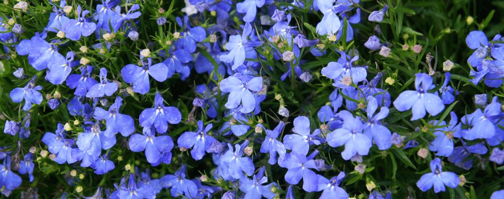 living-color-cool-season-annuals-florida-lobelias-blue