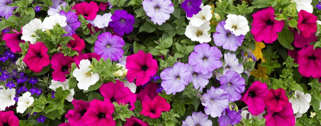 living-color-cool-season-annuals-florida-petunias