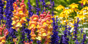 living-color-cool-season-annuals-florida-snapdragons-salvia-coneflowers