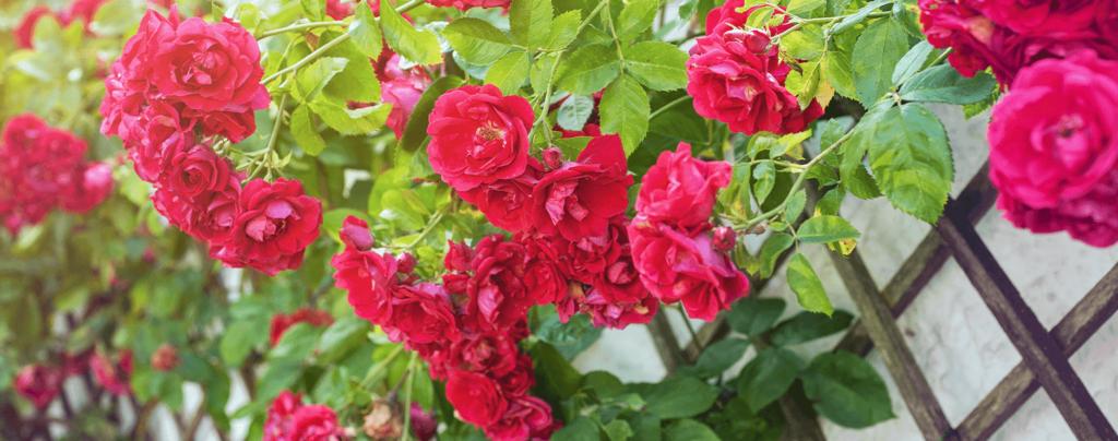 living-color-rose-bushes-don-juan