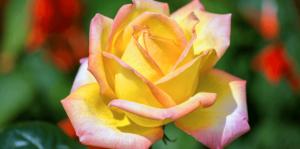 living-color-rose-bushes-gold-medal