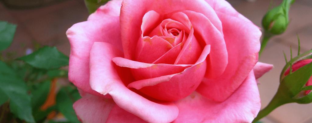 living-color-rose-bushes-perfume