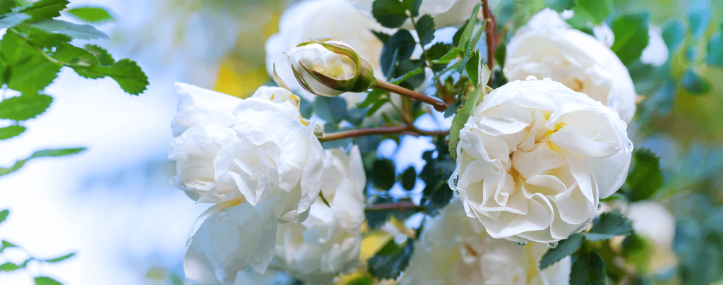 living-color-rose-bushes-white-prosperity