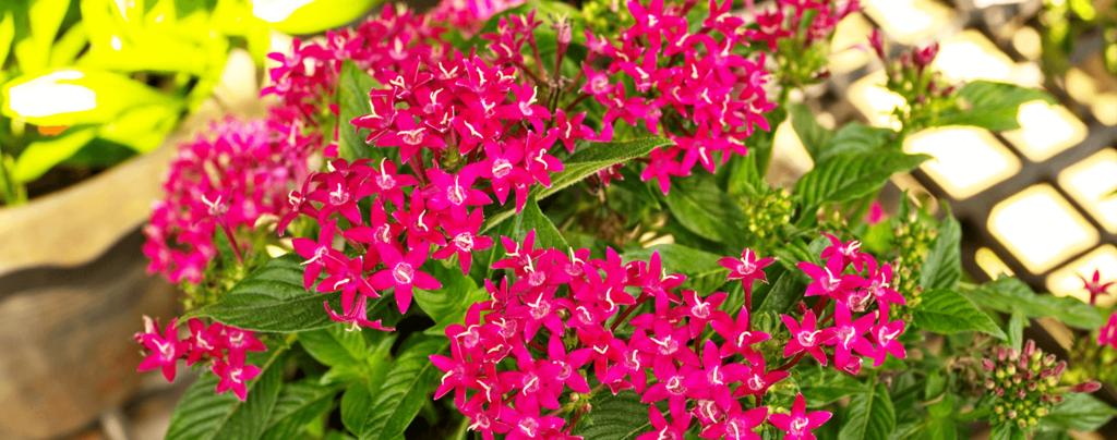 living color full sun flowers march magenta pentas sunlight