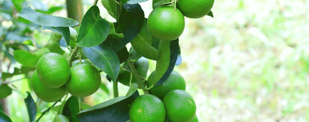 living color planting caring for key lime tree limes up close