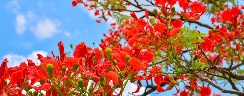 living color garden center shade trees south florida landscape royal poinciana blooms